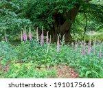 Foxglove  Digitalis Purpurea ...