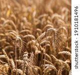 Wheat Field Background. Golden...