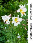 Small photo of Lilium regale a white spring summer flower plant commonly known as king's lily royal lily or regal lily, stock photo image