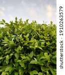 Small photo of Griselinia is a genus of seven species of shrubs and trees, with a highly disjunct distribution native to New Zealand and South America. It is a classic example of the Antarctic flora.