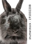 Small photo of Small racy dwarf black bunny isolated on white background. Studio photo.