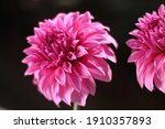 Portrait Of A Blooming Dahlia...