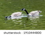 Canada Geese Swimming On A Pond....
