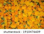 calendula flowers harvest.... | Shutterstock . vector #1910476609