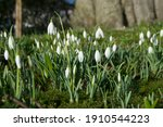Snowdrop Signifying The First...
