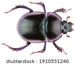 Anoplotrupes Stercorosus Dor...