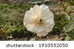 Beautiful White Rose At...