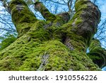 Close Up Of A Thick Tree Trunk...