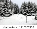 Pine Trees In The Snow With...
