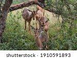 Group Of Antilope Walking...