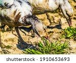Snow Geese Beaks Close Eating...