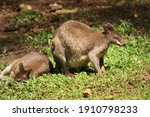A Pair Of Tree Kangaroos Are...