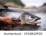 A fisherman releases wild...