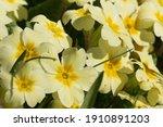 Sunlit Yellow Primroses ...