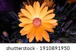 African Daisy Osteospermum Is A ...