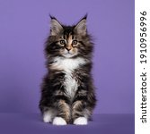 Adorable Fluffy Tortie Maine...