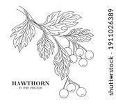 Medicinal Plant Hawthorn On A...