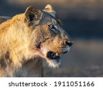Lioness Side Profile After A...