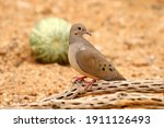 Mourning Dove Perched On Old...