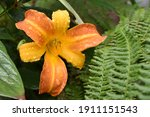 Orange And Yellow Day Lily...
