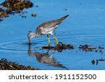 A Greater Yellow Legs Seabird...