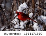 Male Cardinal With Head Tilted...