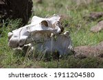 Hippo Skulls By The Water In...