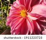 Closeup Shot Of Pink Dahlia...