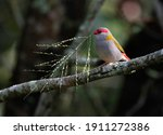 A Red Browed Finch Finds A...