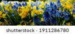 Daffodils And Grape Hyacinths...