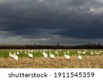 Mute Swan  Cygnus Olor  Flock...
