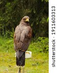 Small photo of Harris's hawk, Parabuteo unicinctus, domesticated for falconry sitting on a perch with green grass and tree branches in the background.