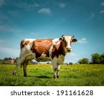 Portrait Of A Dairy Cow