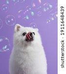 White Pomeranian Dog Looks At...