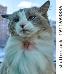 Small photo of Allergic skin diseases in domestic cats. cat's wound from dermatitis. Skin diseases in cats. Combs on the neck of a domestic cat. Atypical dermatitis in a domestic cat. Cat allergy in cats