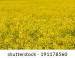 flowers of oil in rapeseed field | Shutterstock . vector #191178560