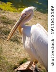 White Pelican Standing On Rock