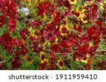 Very Beautiful Coreopsis With...