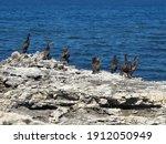 Sea Birds Resting On A Rock In...