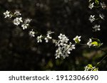 White Flowers On Tree Branches...