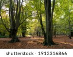 Two Beech Trees In Foreground...