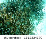 Staghorn Coral Grows Quickly....