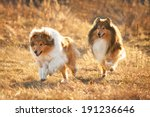 Two Rough Collies Running At...