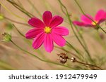Picture Of A Beautiful Cosmea...