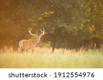 Peaceful Red Deer  Cervus...
