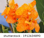Canna Lily Blossoms  Close Up....