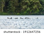 Flock Of Loons Gathered On A...
