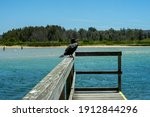 Great Cormorant  Scientific...