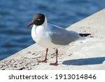 Black Headed Gull  Larus...
