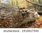 Polypores On Fallen Tree Trunk...